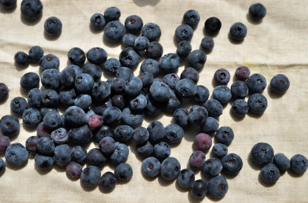 blueberries2 (1 of 1)