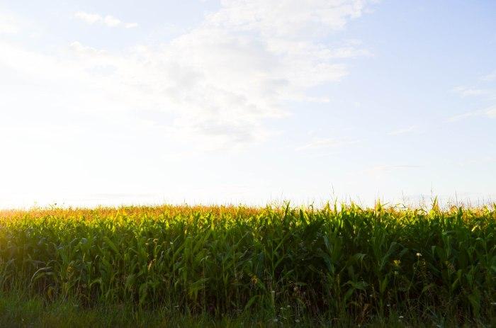cornfield (1 of 1)