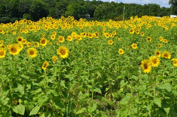 sunflower field (1 of 1)