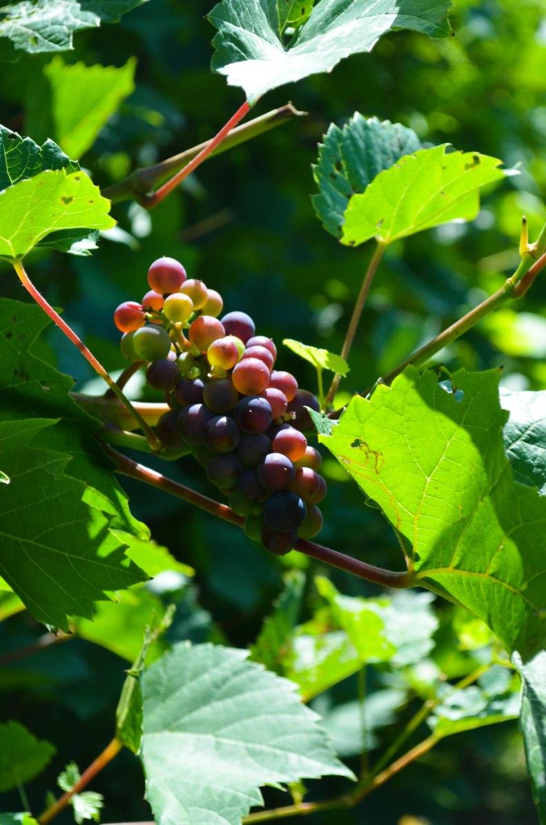 vinyard1 (1 of 1)